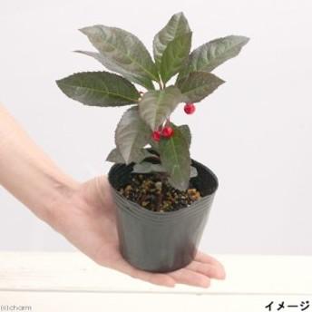 (山野草)盆栽 十両 ヤブコウジ(藪柑子) 2.5号(1ポット) (休眠株)