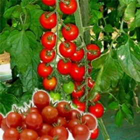 みかど協和 トマト ラブリーさくら 小袋