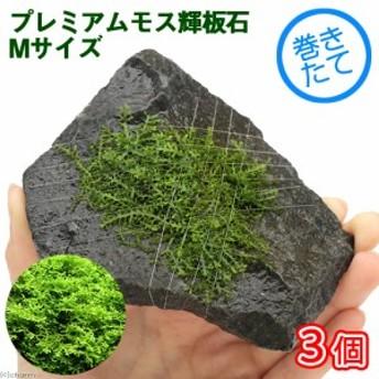 (水草)巻きたて プレミアムグリーンモス付 輝板石 Mサイズ(約14cm)(無農薬)(3個)