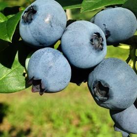峠のふもと紅果園のブルーベリー約1kg(500g×2)(北海道仁木町産ブルーベリー約1kg(500g×2) ※サイズ混載 )