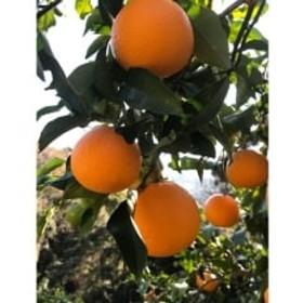 マルユー園清見オレンジ約5kg(ご家庭用サイズおまかせ)