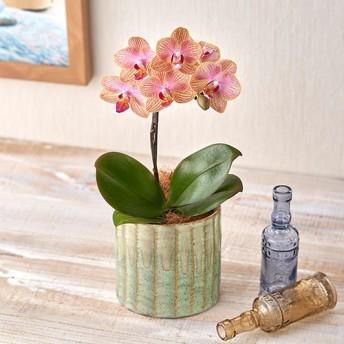 【日比谷花壇】お手入れかんたんミディ胡蝶蘭S「オランジュ」(緑陶器)