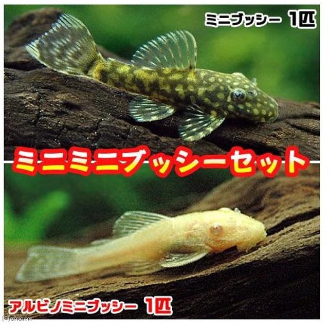 (熱帯魚)ミニミニブッシーセット(ミニブッシープレコ1匹+アルビノミニブッシー1匹)(計2匹) 北海道・九州・沖縄航空便要保温
