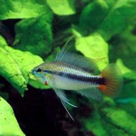 (熱帯魚)アピストグラマsp.リオマモレ レッド(1ペア)