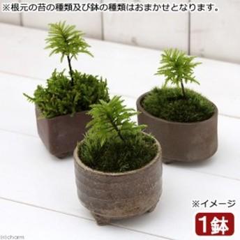 (盆栽)苔盆栽 益子焼鉢植え コウヤノマンネングサ 鉢おまかせ(1鉢) (休眠株)