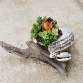 多肉植物 貝殻 寄せ植え