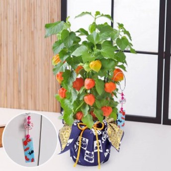 鉢植え「ほおずき=和モダン風呂敷包み=」