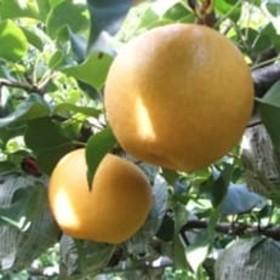 九重産 梨(約5kg)