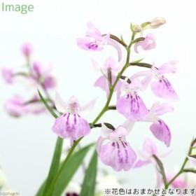 (山野草)ウチョウラン(羽蝶蘭)花色おまかせ 2.5~3号(1ポット)