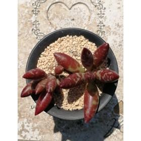 フィリカウリスレッドスポット アドロミスクス 多肉植物
