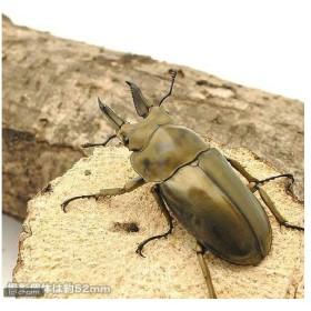 (昆虫)オウゴンオニクワガタ 西ジャワ ハリムン産 成虫(WD)60〜64mm(1ペア) 沖縄別途送料