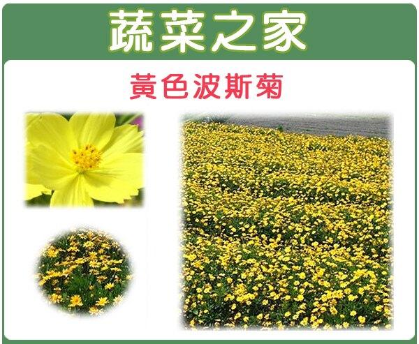 【蔬菜之家】大包裝H07.黃色波斯菊種子80克