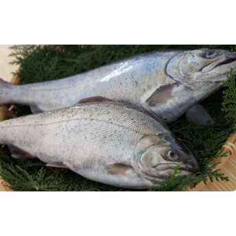 幻の高級魚「室戸海洋深層水サツキマス」(1尾(約500~700g))