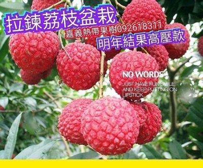 最新品種-拉鍊荔枝【當年結果】高壓款,快速結果,果大香甜多汁,產量驚人,絕對頂級