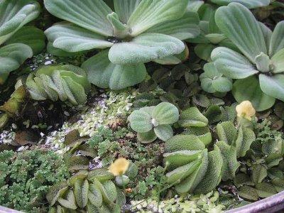 可固定隨水漂走的浮生植物~會開黃色小花的水草綠毛線=絲葉狸藻--1份25元起