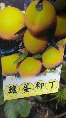 水果苗 ** 雞蛋柳丁 ** 4.5吋盆/高60-90cm/豐產多汁【花花世界玫瑰園】OvO