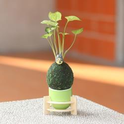 Light+Bio 龍貓綠苔球-合果芋