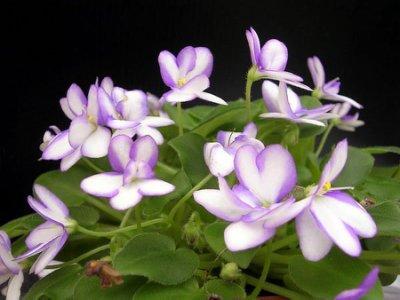 堤緣花語陶-淨化室內空氣植物-非洲紫羅蘭 Rob's humpty doo