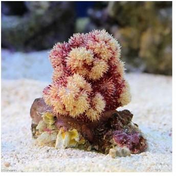 (サンゴ)オオトゲトサカ マルチカラータイプ Sサイズ(1個)