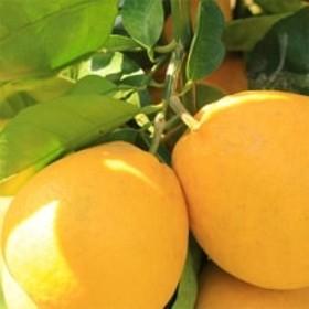【爽快柑橘】有田育ちの爽やか河内晩柑 約3.5kg
