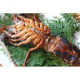 漁師直送 天日干し伊勢海老の干物 約1kg(5匹前後)