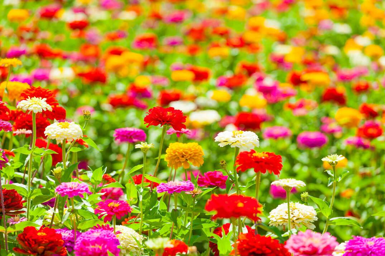 百日草の花々