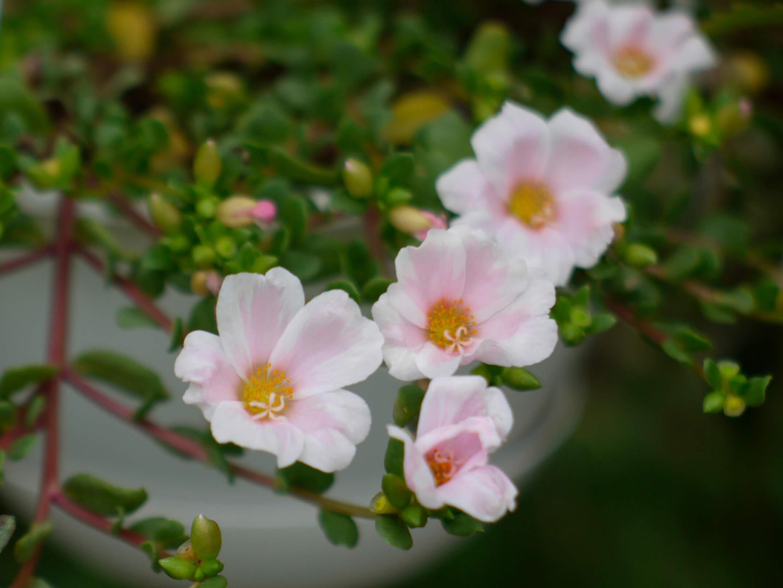 鉢植えのポーチュラカ