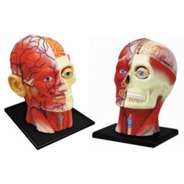 青島文化教材社 スカイネット 立体パズル 4D VISION 人体解剖 No.11 頭部断面解剖モデル