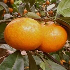 【産地直送】有田みかん 約5kg(家庭用) 紀州グルメ市場