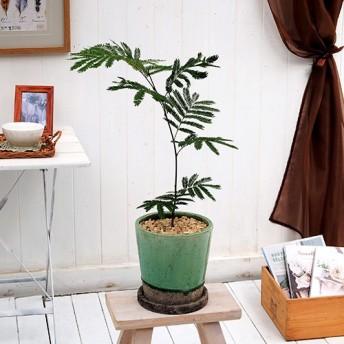 【日比谷花壇】観葉植物「エバーフレッシュ(M)」