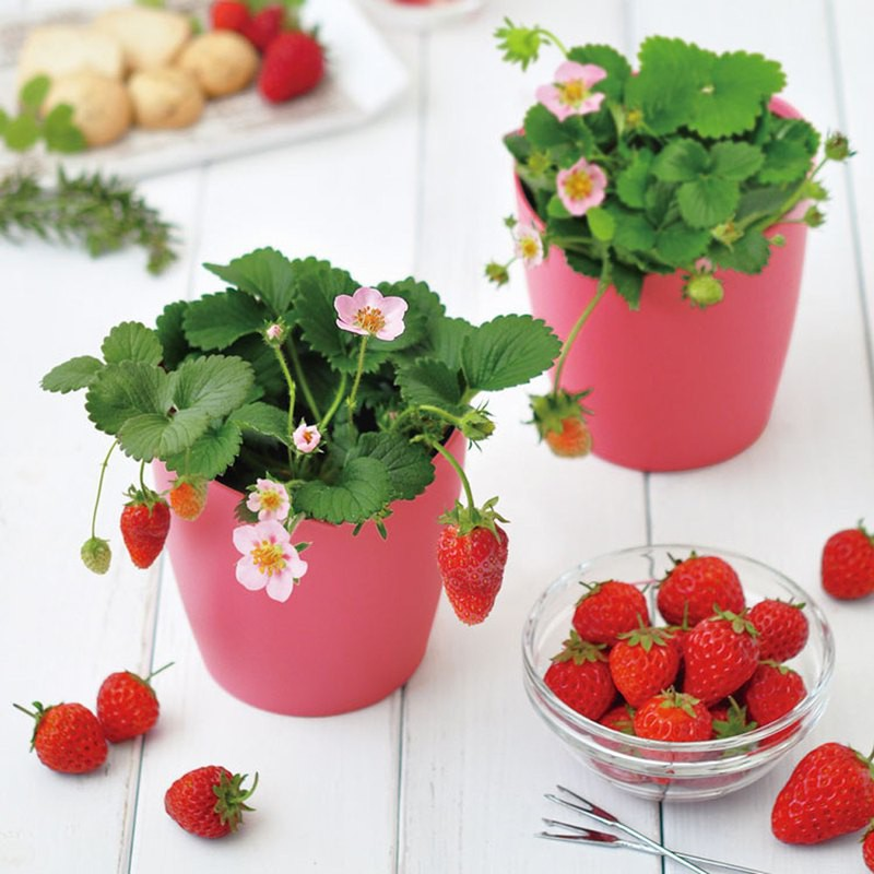 【日本限定】Bloom pink心型栽培套組/日本草莓 (正版授權/草莓/自己種草莓/植栽組/果凍種子)
