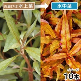 (水草)アルテルナンテラ レインキー ロザエフォリア(水上葉)(無農薬)(10本)