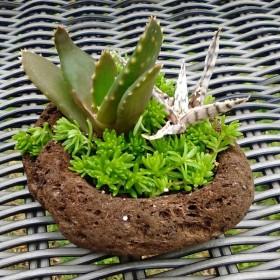 アロエ属多肉植物 寄せ植え アレンジ 鉢ごと
