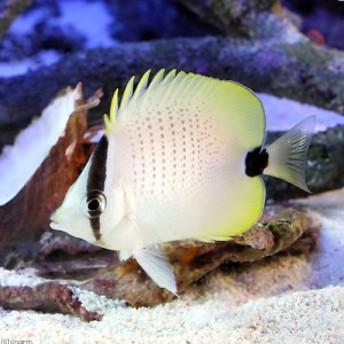 (海水魚)ミレッドシードバタフライフィッシュ Sサイズ(1匹) チョウチョウウオ