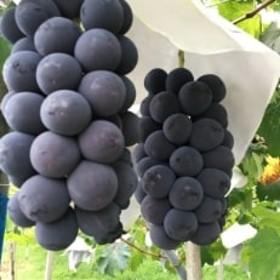 旬の葡萄 種無しピオーネ2kg箱