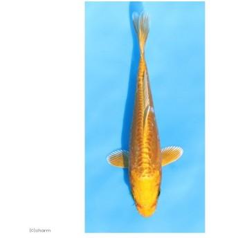 (錦鯉)ドイツ黄金/ドイツオウゴン ニシキゴイ 8〜13cm(1匹)