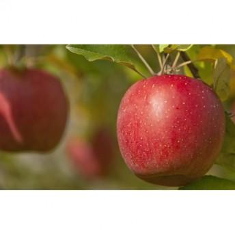 樹上完熟奥久慈りんご