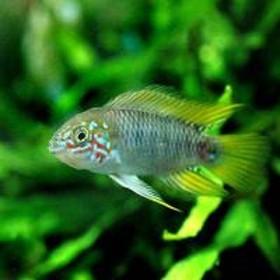 (熱帯魚)アピストグラマ・ボレリー オパール(1ペア) 北海道・九州・沖縄航空便要保温