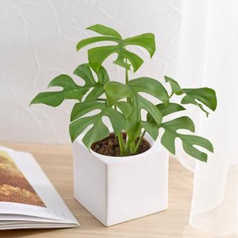 【日比谷花壇】お手入れかんたん観葉植物「ヒメモンステラ(スクエアホワイト)」