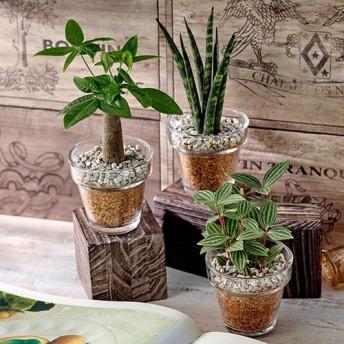 【日比谷花壇】環境にやさしいエコスギ観葉植物「パキラ・サンスベリア・ペペロミア3個セット」