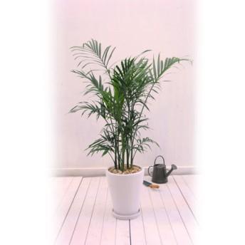 【日比谷花壇】観葉植物「メキシコケンチャヤシ」