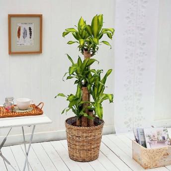 【日比谷花壇】観葉植物「幸福の木(L)・バスケット」