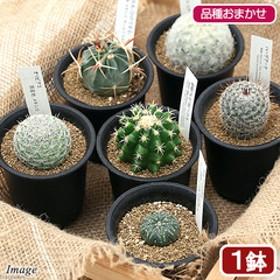 (観葉植物)サボテン 品種おまかせ 2.5号(1鉢)