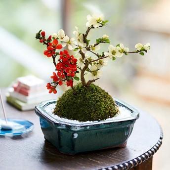 【日比谷花壇】敬老の日 「紅白長寿梅」