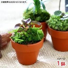 (観葉植物)テラコッタプランツ ミニ おまかせ山野草(1鉢)