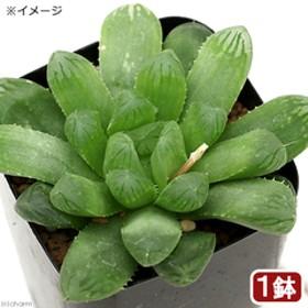 (観葉植物)品種系ハオルチア 丸窓美窓MTグリーンオブツーサ 2.5号(1鉢)