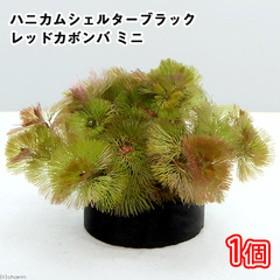 (水草)メダカ・金魚藻 ブラックハニカムシェルター レッドカボンバ ミニ(1個)