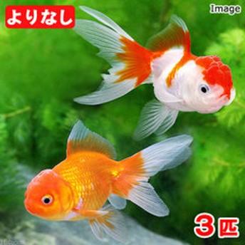 (国産金魚)よりなし(無選別) オランダ獅子頭/オランダシシガシラ 素赤 更紗(3匹)