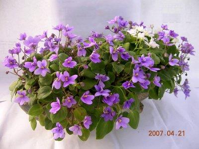 堤緣花語陶-淨化室內空氣植物-非洲紫羅蘭 Rob's humpty doo sport