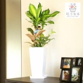 観葉植物 寄せ植え(幸福の木)6号角高陶器鉢 (白黒) 高さ約75cm【yosem06-001002】開店祝い 新築祝い プレゼント 引越祝い  送料無料